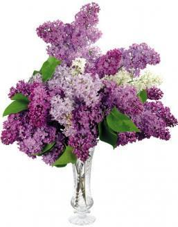 Bouquet of 25 violet lilac | Flowers for Birthday flowers